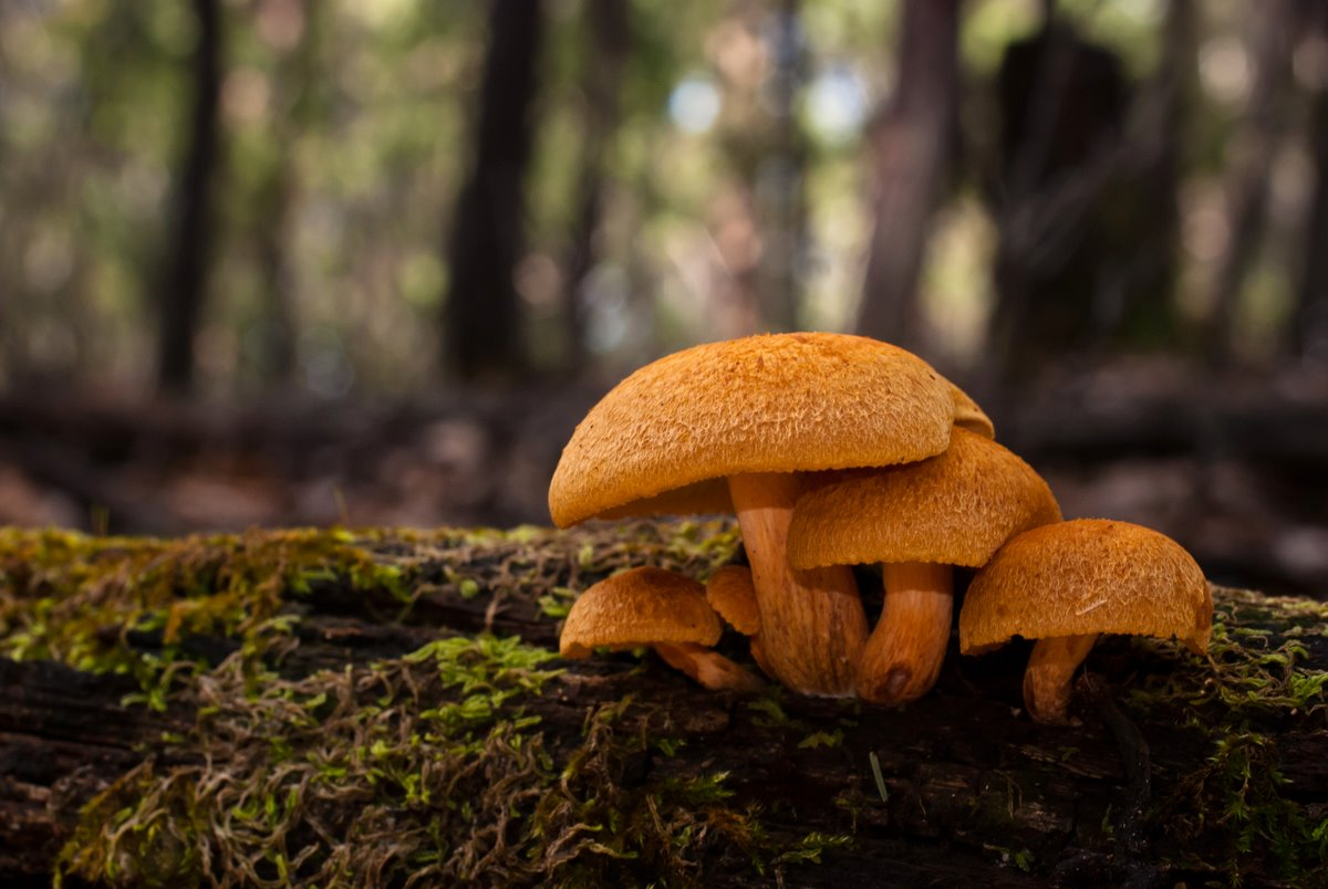 Gymnopilus mushrooms growing on a log