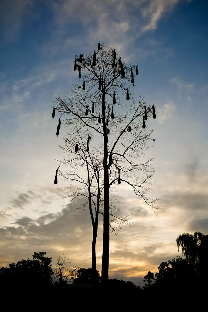 Tree with many hanging birds' nests in it against the sky