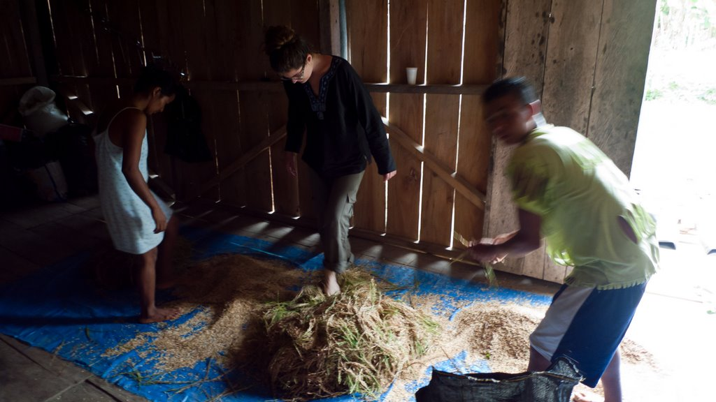 People threshing rice with their feet