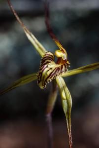 Caladenia caesarea subsp. maritima orchid flower
